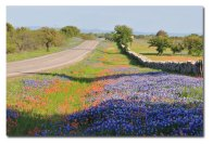 bluebonnets and wildflowers in Texas